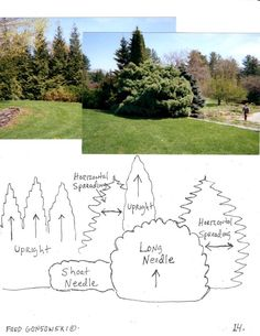 How to choose evergreen trees that complement one another