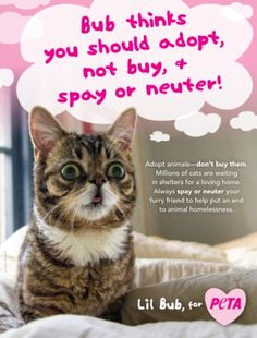 Chances are your students (and maybe even you) already know and love Internet kitty sensation Lil Bub! Join her in her campaign to end animal homelessness, and SHARE her adorable ad to remind students to adopt animals from shelters and always spay or neuter! #lilbub #adoptdontshop #humaneeducation #cuteness
