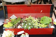 A whimsical idea. Succulents in an old red tool box.