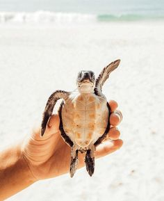 Top Dinge zu Di in Unawatuna Sri Lanka - . - Top Dinge zu Di in Unawatuna Sri Lanka Juna Rosenfeld - Cute Creatures, Beautiful Creatures, Animals Beautiful, Animals Amazing, Cute Little Animals, Cute Funny Animals, Cute Turtles, Baby Sea Turtles, Turtle Baby