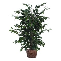 Ficus Bush with Square Willow Container (48), Green