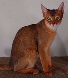 "Click visit site and Check out Best "" Abyssinian "" Cat Shirts. This website is…"