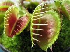 Venus Fly Trap plant is a carnivorous plant that feeds by capturing and devouring insects in its hinged leaves. Find Venus Fly Trap care tips here. Weird Plants, Unusual Plants, Rare Plants, Types Of Plants, Venus Fly Trap Care, Rainforest Plants, Cactus, Pitcher Plant, Plant Pots