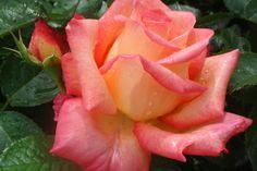 Rose Die Welt – Catalog rose types and rose varieties