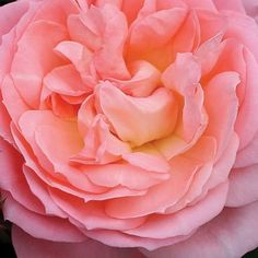 Sarah™️ rose. The coloring of the exquisitely formed flower is an appealing and gorgeous blend of delicate, soft pink, peach and coral. Sarah, with its lovely and delicate beauty,looks wonderful in your garden or in the vase. Plant growth is of good form, vigorous, bushy and healthy with rich green foliage. Continuous blooming.
