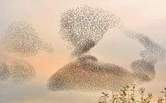 From The Telegraph: Starling flock: how they form into incredible wildlife spectacles-photo by David Kjaer