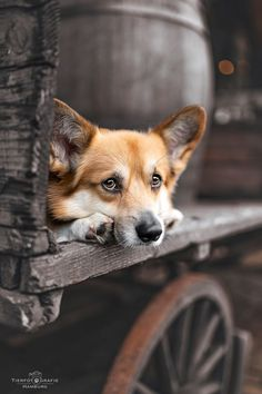Just one of those days Farm Gate, Corgi Pembroke, Forest Photography, Forest Animals, Dog Life, Animal Kingdom, Puppy Love, Dog Lovers, Hunting