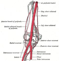 The Brachial Artery - Human Anatomy Forearm Anatomy, Upper Limb Anatomy, Nerve Anatomy, Human Anatomy, Arteries Anatomy, Synovial Joint, Radial Nerve, What Is Science
