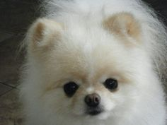 Pomeranian puppies for sale. Would you like to know more about Pomeranians? See our website http://www.thebombpoms.com for all kinds of info on POMS. Want to know how to take care of your new puppy? Want to know the latest scams so you can protect yourself? Want to know how to find a GOOD BREEDER? See our site!