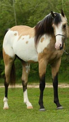 Frame Overo on a buckskin APHA - Schöne pferde - Horse Horses And Dogs, Cute Horses, Horse Love, Wild Horses, Animals And Pets, Cute Animals, Black Horses, Most Beautiful Horses, All The Pretty Horses