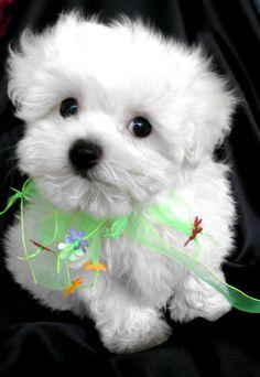 Happy Maltese...looks like Lillie