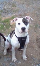 Abbey is an adoptable Pit Bull Terrier Dog in Jersey City, NJ. Abbey is good with other pets. She is spayed & up-to-date on her vaccinations....