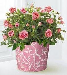 Indoor Care - miniature rose bushes