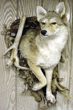 coyote and bird taxidermy mount - Google Search