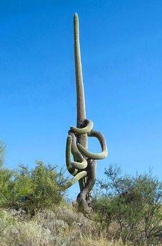 Super twisted Carnegiea gigantea a.k.a. Saguaro cactus. Native to Mexico & Arizona, US. (Cactus)