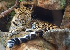 New at the Beardsley Zoo this Winter Amur Leopards http://westernconnecticut.blogspot.com/2015/02/new-at-beardsley-zoo-this-winter.html?utm_source=feedburner&utm_medium=email&utm_campaign=Feed%3A+TravelInConnecticutsLitchfieldHillsAndFairfieldCounty+%28Travel+in+Connecticut%27s+Litchfield+Hills+and+Fairfield+County%29