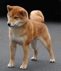 Dog breeds that do not bark. Shiba Inu. People like that kind of dog because it is small and easy to housebreak. If you want to train them for other things, it will take some experience and patience. If you want a clean and playful dog that won´t bark much, this is the dog you should choose!