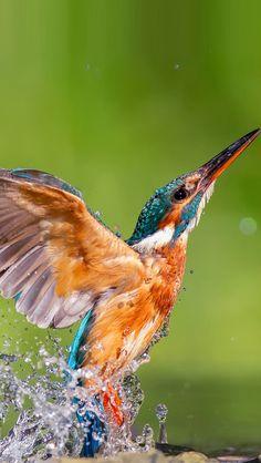 Kingfisher Bird - Splash - Flight
