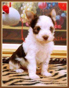 Filhote Biro Yorkshire Terrier, será entregue em junho. Maiores informações pelo site ou inbox facebook.