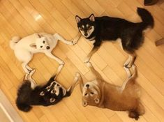 Like puppies, bunnies, babies, and so on. Funny Animal Memes, Funny Animals, Cute Animals, Shiba Inu, I Love Dogs, Puppy Love, Husky Pet, Labrador Husky, Japanese Dogs