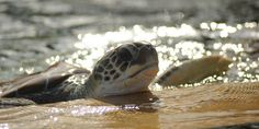 HELP STOP BRUTAL SEA TURTLE FARMING!  Sea turtles crushed, stressed, & diseased. Living with open wounds in waste-filled waters. Welcome to the Cayman Turtle Farm..and its' all about profits at the expense of other living beings!  PLZ SIgn & Share!  http://www.thepetitionsite.com/takeaction/239/582/472/?z00m=20706809#sign