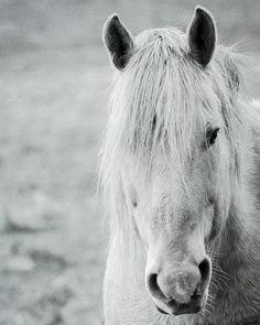 HORSE black and white white horse horse by greyskyphotography, $18.00