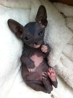 Cat Facts: 6 Fascinating Facts About Hairless Cats Kittens sphynx cat I Love Cats, Crazy Cats, Cute Cats, Cute Baby Animals, Animals And Pets, Funny Animals, Sleepy Animals, Large Animals, Animals Images