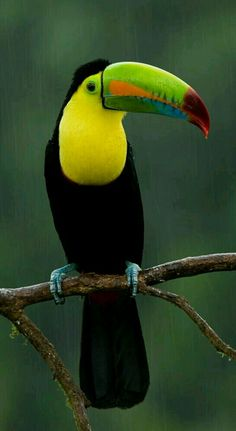 Keel-billed Toucan - by Zoltan Vegh