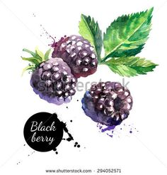 Hand drawn watercolor painting blackberry on white background. Vector illustration of berries