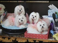 LIFE: Black & Bling ~~~ Maltese ''MAY THE FOURTH' greeting ~~ Korean Style Dog Fashion - YouTube
