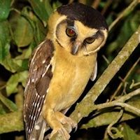 Buff-fronted Owl - Aegolius harrisii - Information, Pictures, Sounds