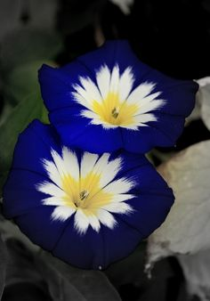"Blue Ensign Morning Glory ~ Morning glory vine forms twining vines with bell-shaped flowers, and its varieties have also become intertwined botanically under the name ""morning glory."" The name comes from the flowers, which last a single day."