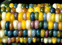 Authentic Glass Gem Corn gorgeous 25 seeds rare by SmartSeeds