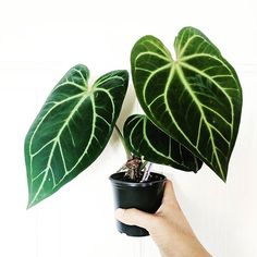 ♠️ Anthurium 'Ace of Spades' ♠️ Very humid climate essential :( World guide to house plants Real Plants, Exotic Plants, Types Of Plants, Tropical Plants, Cactus, Night Garden, Outdoor Plants, Artificial Plants, Plant Care