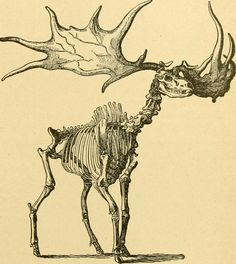 """page 322 of """"Ridpath's history of the world; being an account of the ethnic origin, primitive estate, early migrations, social conditions and present promise of the principal families of men . Walking Dead, Irish Elk, Wild Bull, Cave Bear, Prehistoric Animals, Tier Fotos, Book Images, Fantasy, World History"""