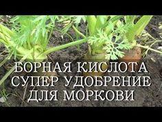 Правила подкормки моркови борной кислотой: приготовление рабочего раствора, оптимальные сроки, результат.