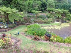 Maleny Botanic Garden peacocks