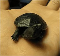 A yawning baby turtle. So cute! Turtle Gif, Turtle Love, Tiny Turtle, Hamsters, Animals And Pets, Baby Animals, Animal Babies, Unique Animals, Tortoise Turtle