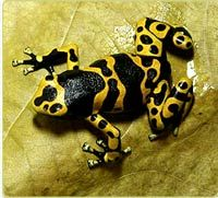 Poison dart frogs - feature from the National Zoo