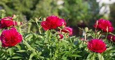 Благодаря этим удобрениям пионы будут обильно и продолжительно цвести.