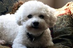 Bichon Frise Wallpaper, Pictures, Breed Info.
