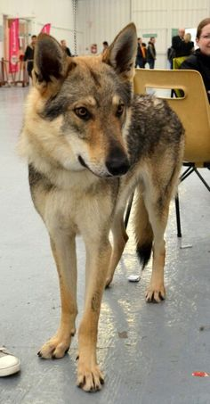 Chien loup tchécoslovaque <3  So beautiful