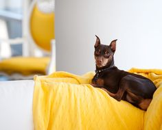 A Hollywood Glam Apartment, by Jan Showers - The Glam Pad Manchester Terrier, Dachshund, Victorious, Dogs And Puppies, Pikachu, Hollywood, Showers, Creatures, Bear