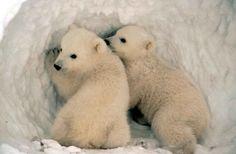 Two babies of white bear - Due cuccioli di orso polare