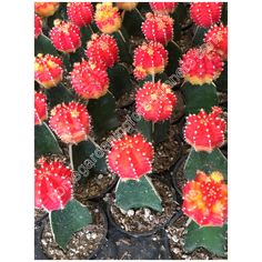 Red grafted moon cactus photo - Home Gardening for Beginners Photos For Sale, Stock Photos, Red Moon, Gardening For Beginners, Cactus Plants, Different Colors, Succulents, Home And Garden, Wall Decor
