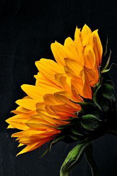 Sunflower... Beautiful shot!... We love the angle!
