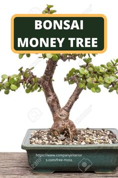 Discover the Art of Bonsai an Ancient Japanese Art Of Imitating Nature in miniature. This Video shows a very easy way to introduce you to simple Bonsai technique using the lucky money tree. The Money Tree is also known as the Jade tree and reacts well to pruning,this video shows a plant that is over 20 years old.  #bonsai #japaneseart #indoorplants #interiordesign #bonsaimoneytree #plantideas #desktopplants #homeofficeplants #japanesebonsai #jadeplant Money Tree Bonsai, Money Trees, Buy Moss, Jade Tree, Ancient Japanese Art, Money Plant, Jade Plants, Office Plants, 20 Years