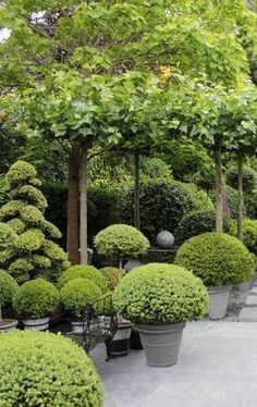 Clipped, potted boxwood - Anouska Hempel