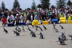 Little Blue Penguins of New Zealand. Sports Day. The only day of the year that they are allowed to stay on land and not go fishing. Typical NZ working conditions.