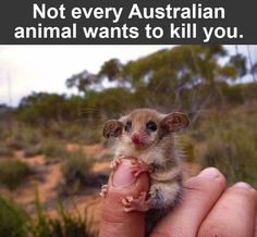 Funny pictures about Western Pygmy Possum. Oh, and cool pics about Western Pygmy Possum. Also, Western Pygmy Possum photos. Animals And Pets, Baby Animals, Funny Animals, Cute Animals, Animal Babies, Wild Animals, Funny Animal Pictures, Cute Pictures, Funniest Pictures